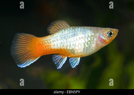 southern platyfish, Maculate Platy (Xiphophorus maculatus), breed Blue Red-tail Platy - Stock Photo