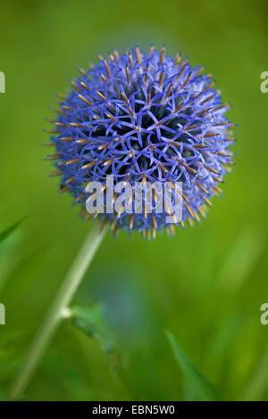 Globe thistle (Echinops spec.), blooming - Stock Photo