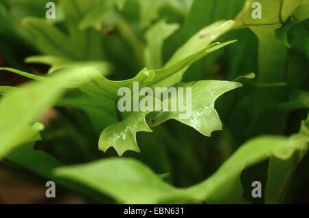 Polypody (Polypodium polycarpon) - Stock Photo
