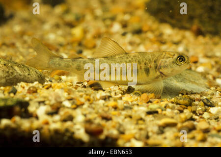Atlantic salmon, ouananiche, lake Atlantic salmon, landlocked salmon, Sebago salmon (Salmo salar), juvenile - Stock Photo
