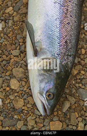 Atlantic salmon, ouananiche, lake Atlantic salmon, landlocked salmon, Sebago salmon (Salmo salar), smolt, portrait, - Stock Photo