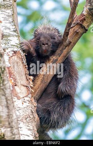 North American porcupine (Erethizon dorsatum), sleeping in a branch fork - Stock Photo