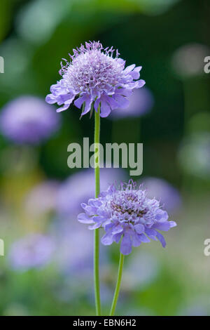 Pincushion Flower, Shining Scabious, Glossy Scabious (Scabiosa lucida), inflorescence, Germany - Stock Photo