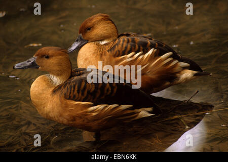 fulvous whistling duck (Dendrocygna bicolor), two fulvous whistling ducks standing in shallow water - Stock Photo