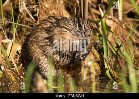 muskrat (Ondatra zibethica), caring of its fur, Germany, Bavaria - Stock Photo