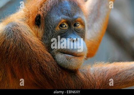 Sumatran orangutan (Pongo pygmaeus abelii, Pongo abelii), portrait - Stock Photo