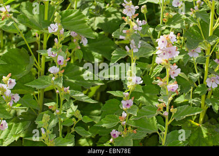 common marsh-mallow, common marshmallow (Althaea officinalis), blooming - Stock Photo