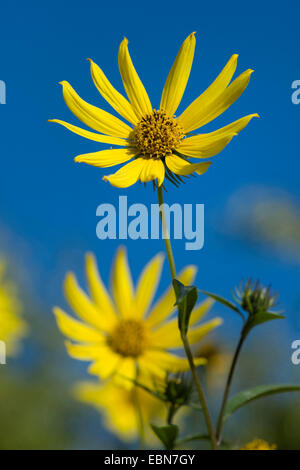 Tall sunflower (Helianthus giganteus), blooming - Stock Photo