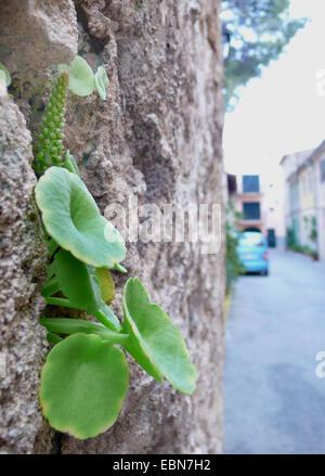 navelwort, pennywort (Umbilicus rupestris), on a wall, Spain, Balearen, Majorca - Stock Photo