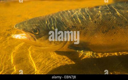 Atlantic salmon, ouananiche, lake Atlantic salmon, landlocked salmon, Sebago salmon (Salmo salar), half-length portrait - Stock Photo