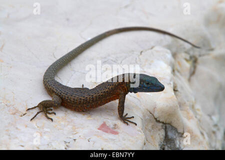 blue-throated keeled lizard (Algyroides nigropunctatus), male sitting on rock, Croatia, Istria - Stock Photo