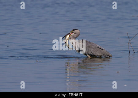 grey heron (Ardea cinerea), standing in deep water with caught pike, Germany, Bavaria, Lake Chiemsee - Stock Photo