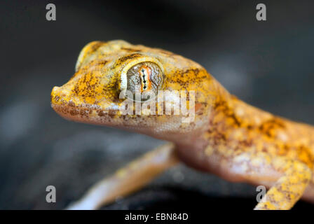 Lichtenstein's Short-fingered Gecko (Stenodactylus stenodactylus), portrait - Stock Photo