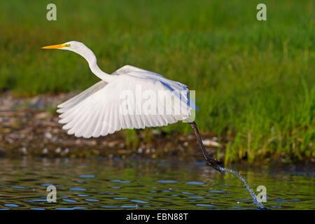 great egret, Great White Egret (Egretta alba, Casmerodius albus, Ardea alba), great egret flying off, Switzerland, - Stock Photo