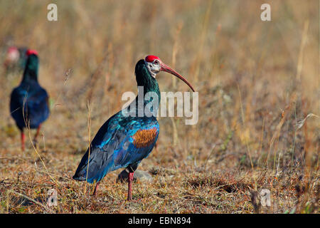 Bald ibis (Geronticus calvus), bald ibis looking for food, South Africa, Ithala Game Reserve - Stock Photo
