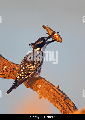 lesser pied kingfisher (Ceryle rudis), feeding a fish on a dead tree, South Africa, Pilanesberg National Park - Stock Photo