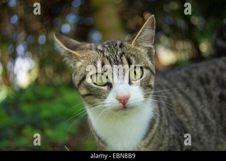 domestic cat, house cat (Felis silvestris f. catus), striped cat, portrait, Germany - Stock Photo