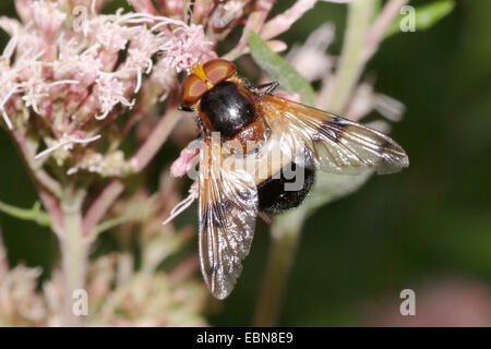 Pellucid Hoverfly, Pellucid Fly (Volucella pellucens), sitting on a blossom, Germany - Stock Photo