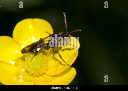 Cuckoo Bee (Nomada spec.), on buttercup flower - Stock Photo