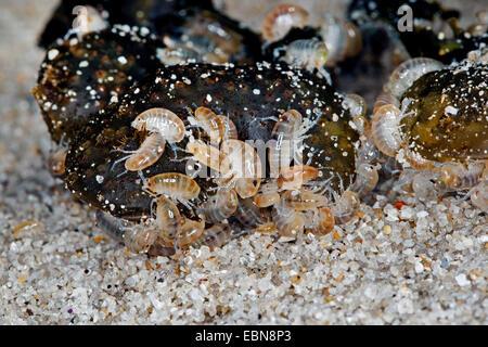 Sand hopper, Sand-hopper, Sandhopper, Greater sandhopper (Talitrus saltator, Talitrus locusta, Talitrus littoralis), - Stock Photo