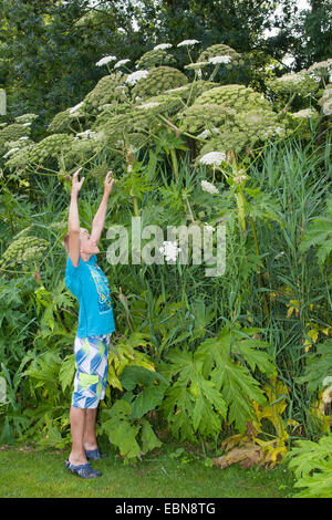 Giant hogweed (Heracleum mantegazzianum), blooming plants with boy as size comparision, Germany - Stock Photo