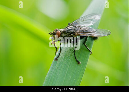 Flesh Fly (Sarcophaga spec.), sitting on a blade of grass - Stock Photo