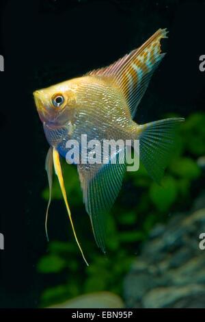 freshwater angelfish, longfin angel fish, black angelfish, scalare (Pterophyllum scalare), breed red-gold diamond - Stock Photo