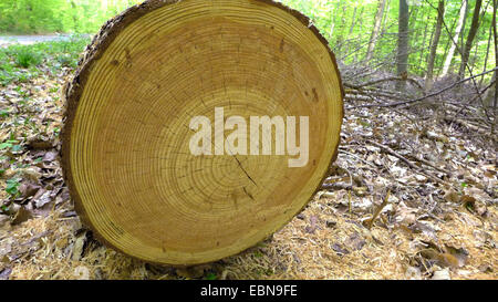 common larch, European larch (Larix decidua, Larix europaea), cross section with growth rings of a log, Germany, - Stock Photo