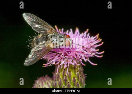 Tachinid Fly (Prosena siberita), on lilac flower - Stock Photo