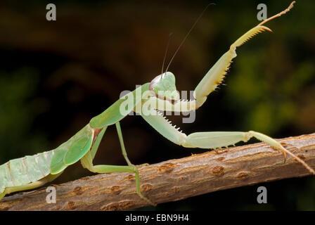 Giant Malaysian shield praying mantis (Rhombodera basalis), sitting on a stem - Stock Photo