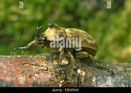 Pfeiffer's rhinoceros beetle, Pfeiffer's horned beetle (Trypoxylus pfeifferi, Allomyrina pfeifferi), male, close - Stock Photo