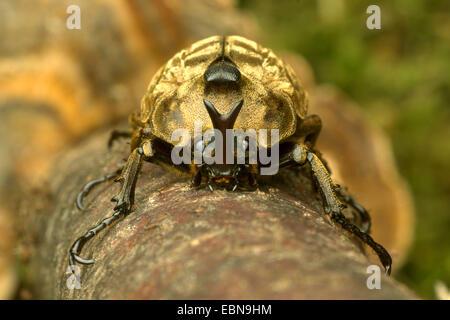 Pfeiffer's rhinoceros beetle, Pfeiffer's horned beetle (Trypoxylus pfeifferi, Allomyrina pfeifferi), front view - Stock Photo