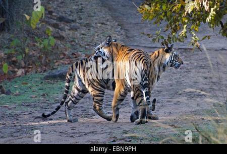 Bengal tiger (Panthera tigris tigris), two tigers meet, India, Madhya Pradesh, Bandhavgarh National Park
