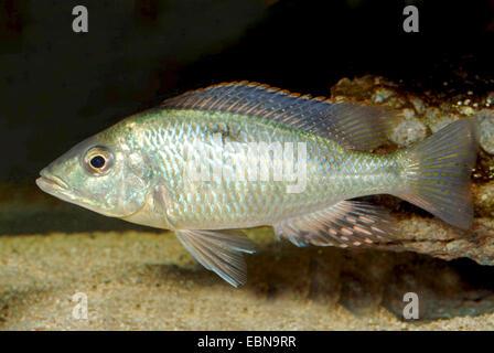 Twoblotch Tilapia (Hemitilapia oxyrhynchus), swimming - Stock Photo