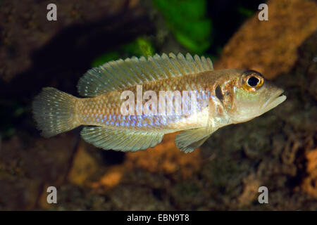 Tanganjika Shell Cichlid (Telmatochromis vittatus), swimming - Stock Photo