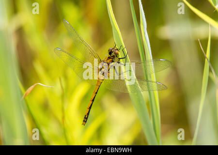 black sympetrum (Sympetrum danae), female, Germany, Bavaria - Stock Photo