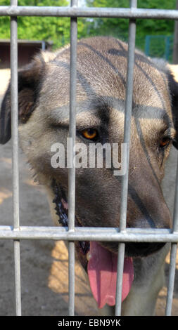 domestic dog (Canis lupus f. familiaris), portrait of a kangal dog in a kennel of an animal shelter , Germany - Stock Photo