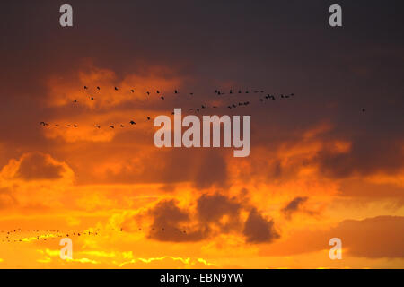 Common crane, Eurasian Crane (Grus grus), flock flying to its sleeping-place at sunset, Germany, Mecklenburg-Western - Stock Photo