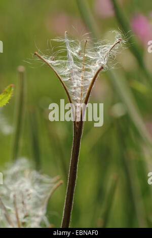 fiddle-grass, great willow-herb (Epilobium hirsutum), open fruit with seeds, Germany - Stock Photo