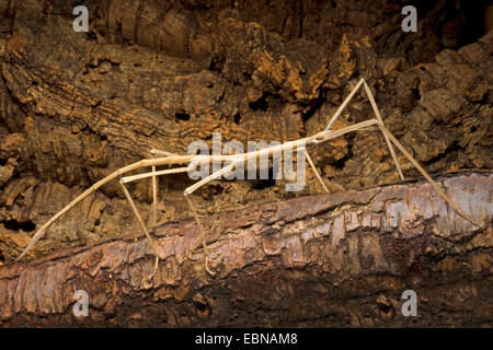 Giant stick insect (Phobaeticus magnus), on a branch - Stock Photo