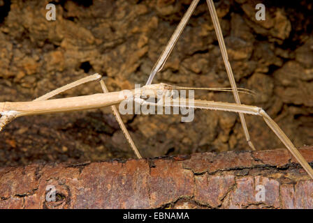 Giant stick insect (Phobaeticus magnus), portrait - Stock Photo