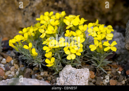 Velebit Degenia  (Degenia velebitica), blooming - Stock Photo