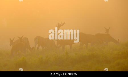 red deer (Cervus elaphus), impressive stag with herd of hinds in evening light with mist, Denmark - Stock Photo