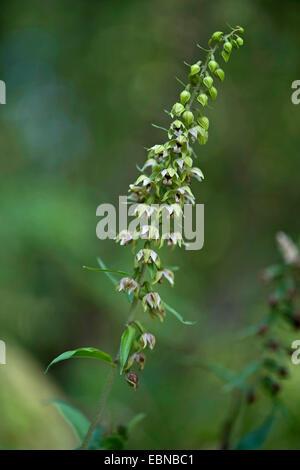 Broad-leaved helleborine, Eastern helleborine (Epipactis helleborine), inflorescence, Germany - Stock Photo