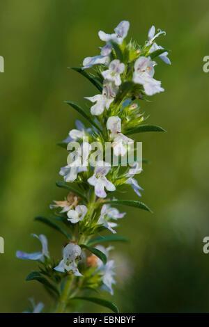 Winter savory (Satureja montana), inflorescence - Stock Photo