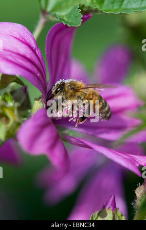 common mallow, blue mallow, high mallow, high cheeseweed (Malva sylvestris), flower with bumble bee with pollen, - Stock Photo