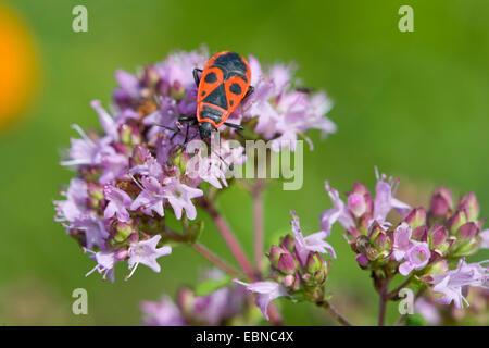 firebug (Pyrrhocoris apterus), sitting on wild marjoram, Germany - Stock Photo