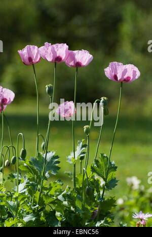 opium poppy fruit clos...