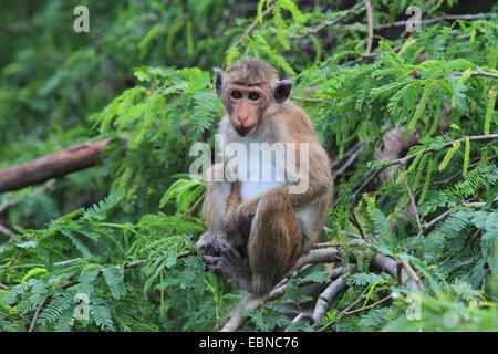 toque macaque (Macaca sinica), sitting in the shrubbery , Sri Lanka, Bundala National Park - Stock Photo