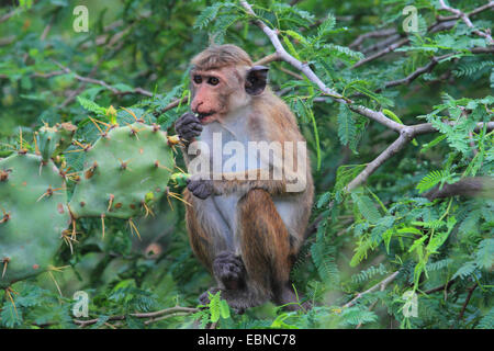 toque macaque (Macaca sinica), sitting in the shrubbery and feeding prickly pears, Sri Lanka, Bundala National Park - Stock Photo